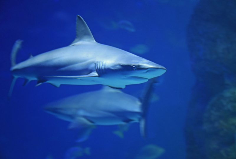 Role of shark in ecosystem